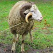 Stock Photo: Sheep ram with horns over green grass