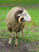 Baran owca z rogami na zielonej trawie — Zdjęcie stockowe