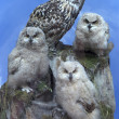 Owl family - parent and three chick over blue sky - Stock Photo