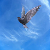 Pigeon dove flying over blue sky and clouds — Stock Photo