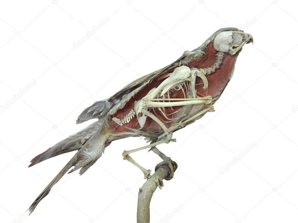 Oiseau faucon farcis avec squelette l 39 int rieur isol for Interieur falcon 2000