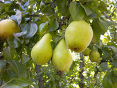 Rich harvest - branch with juicy pears — Foto de Stock