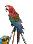 Colorful parrot macaw isolated on white background — Stock Photo
