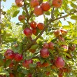 Rich harvest of juicy red apples on tree branch — Stock Photo