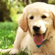Cute golden retriever puppy. — Stock Photo