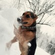 Stock Photo: Dog digging snowdrift