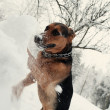 Dog digging the snowdrift — Photo