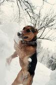 Dog digging the snowdrift — Stock Photo