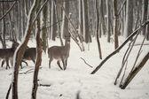 Jelen v lese zimní wrosty — Stock fotografie