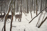 Rådjur i skogen wrosty vintern — Stockfoto