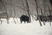 Wild boar in the winter frosty forest with snow — Stockfoto