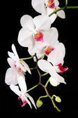 Orchid isolated on black background — Stock Photo