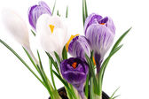 Snowdrops crocus flowers isolated over white background — Stock Photo