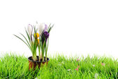 Snowdrops crocus flowers on the green grass — Stock Photo