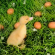 Baby duck in green grass with eggs around — Stock Photo