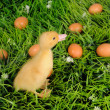Stock Photo: Baby duck in green grass with eggs around