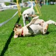 Playfull dogs on green grass — Stock Photo #26676155
