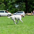 Stock Photo: Dog running on green grass