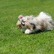 图库照片: Dog running on green grass