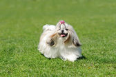 Dog running on green grass — Stock Photo
