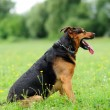 Playfull dogs on green grass — Stock Photo #27837507