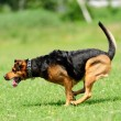 Dog running on the green grass — Foto de stock #27847215