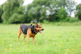 Playfull dogs on green grass — Stock Photo