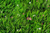 Close up on fresh green grass — Stock Photo