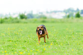 Running dog — Stockfoto