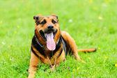 緑の草原犬 — ストック写真