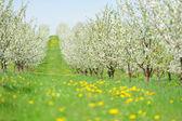 Kwitnący ogród biały kwiat — Zdjęcie stockowe
