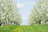 Blooming garden with white bloom — Stock Photo