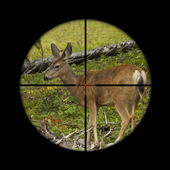 Roe deer in crosshairs — Stock Photo