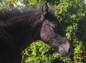 Foal Portrait — Stock Photo