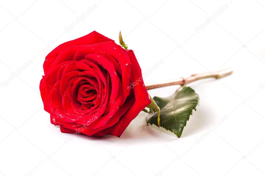 belle rose christian singles Sting features on the track 'la belle dame sans regrets'  christian mcbride:  so red the rose.
