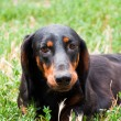 Dachshund dog - Stock Photo