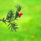 Florida yew — Stock Photo