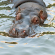 Hippopotamus — Stock Photo #15621215