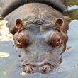 Royalty-Free Stock Photo: Hippopotamus