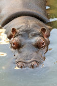 Hippopotamus — Stock Photo