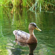 Duck in the pond — Stock Photo