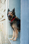 Longing dog — Stock Photo