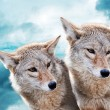 Coyote pair - Stock Photo