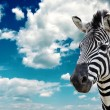 Zebra — Stock Photo
