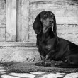 Stock Photo: Male dog, dachshund