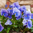 Viola tricolor — Stock Photo