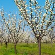 Orchard in bloom - Stock Photo