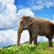 Elephant in the field - Stock Photo