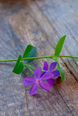 Violet spring flower — Stock Photo