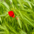 图库照片: Poppy flower and false barley